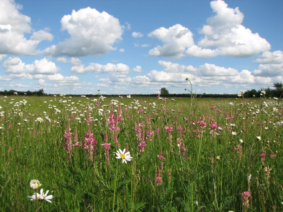 Wild flowers at Yatesbury magnetometry area